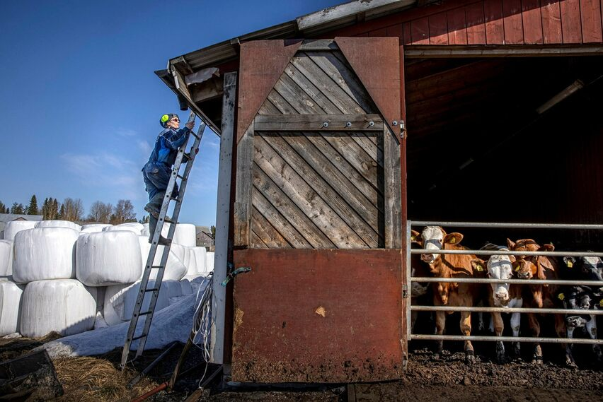 Frida Billund took over the position of dairy farmer from her parents ten years ago.  She has 120 cows and maintains a landscape in the village for many miles.