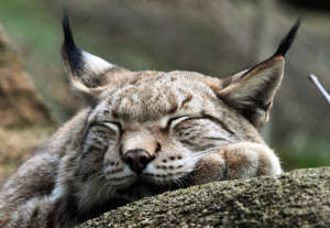 The Swedish lynx seems to be feeling good.  This animal was photographed in a fence in the German National Park Harz.  Photo gallery.