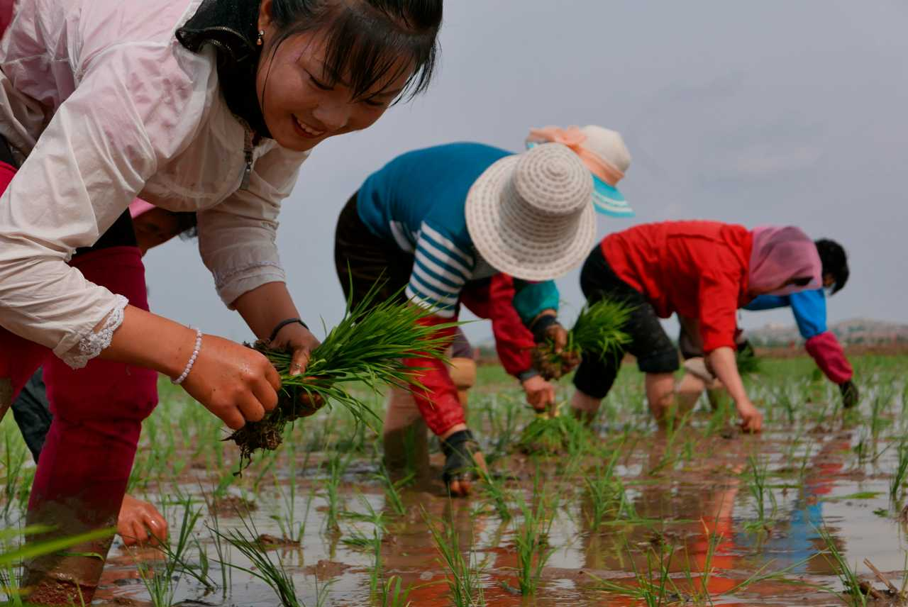 North Korean agricultural workers grow rice in South Pyongan Province.  Photo gallery.