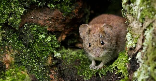 Warmer winters in Västerbotten increase the risk of swine fever