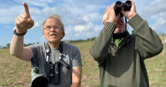 Red Listed Prairie Falcon breaks record - 62 new boys in Öland