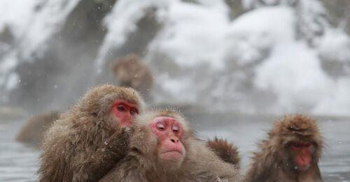 Nine-year-old Makakuna Yaki writes history - Japanese snow monkeys got their first alpha female