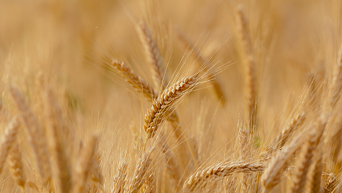 UK gives green light to Crisper experiments on wheat