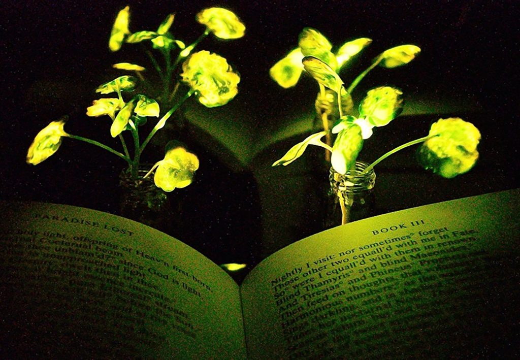 Luminous plants should light up homes and streets